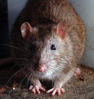 Eliminar ratones de campo elegant cool como eliminar - Como alejar las ratas de la casa ...