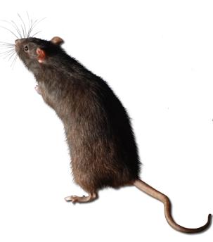 Desratizacion matar ratas matar ratones control de plagas - Como matar las ratas de mi casa ...